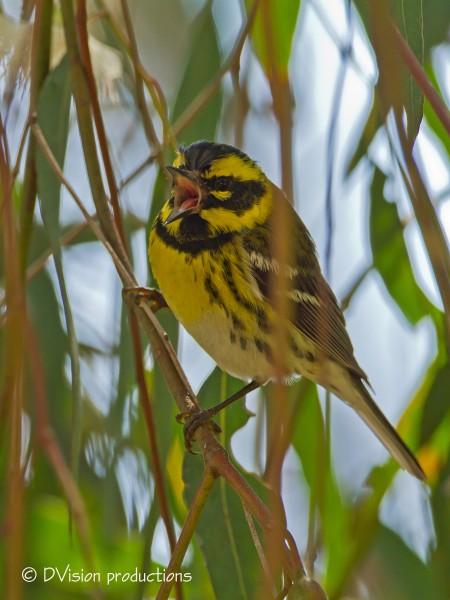 Townsend's Warbler singing