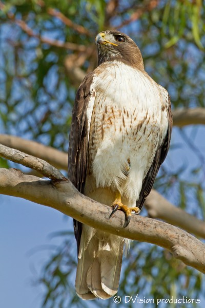 A regal Red Tail