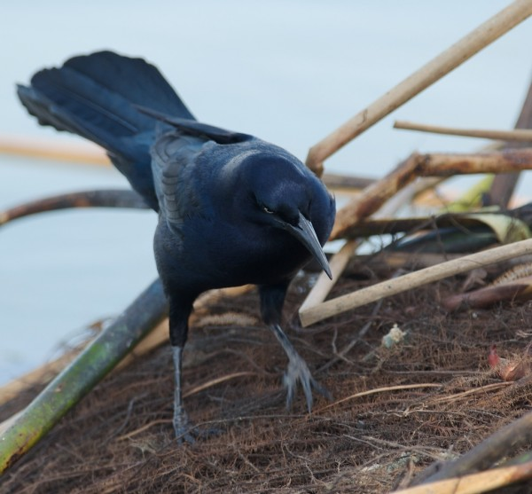 Great-tail Grackle