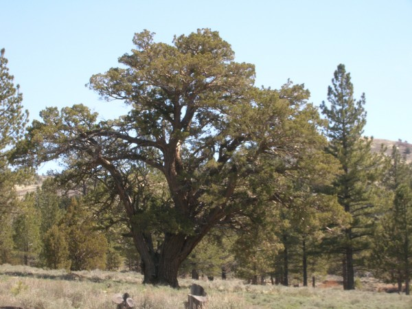 Western juniper                             Juniperus occidentalis