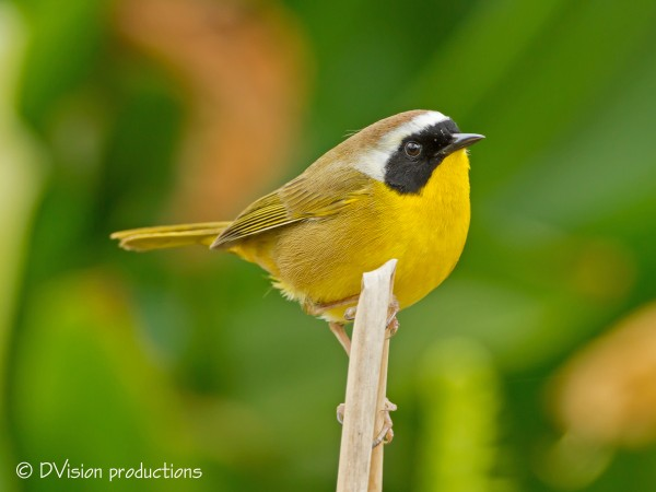 This male Common Yellowthroat gave us quite a show and song.  Love the...