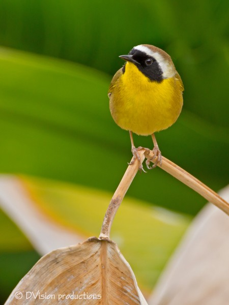 Another shot of the Yellowthroat - quite the poser eh? :-)