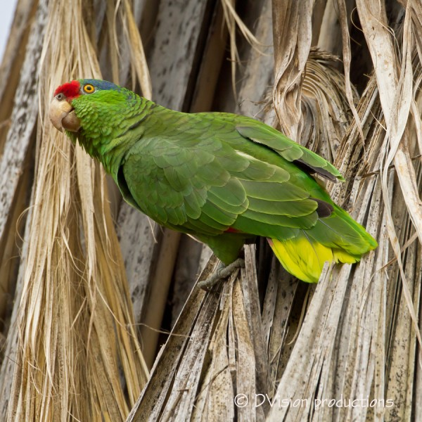 Amazon Parrot - Red-Headed or Lilac Crowned or morph?  We were delight...