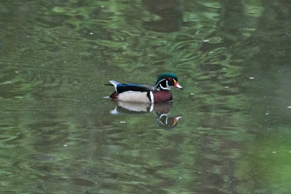wood duck was a first for me