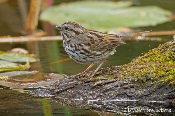 Song Sparrow catching a drink