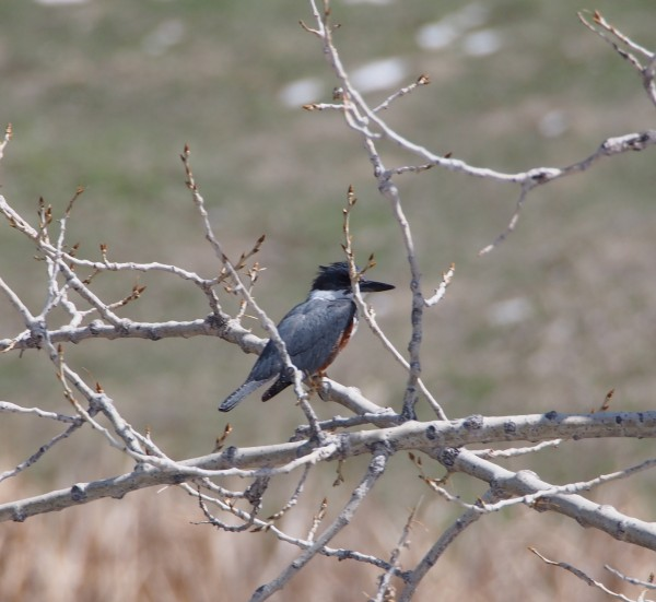Belted Kingfisher.
