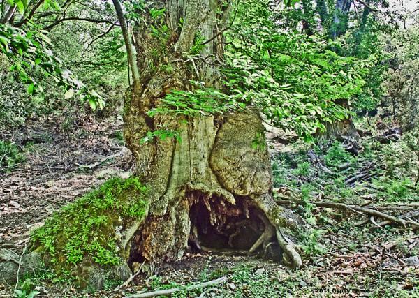 Ancient chestnut tree in the Castagniccia of Corsica