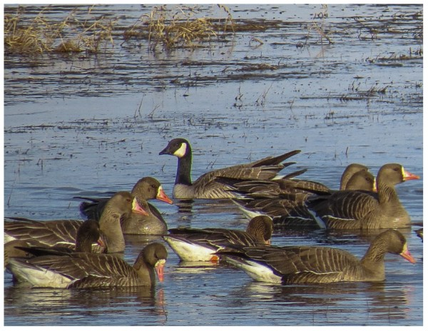 Greater White-fronted Geese and a Cackling Goose