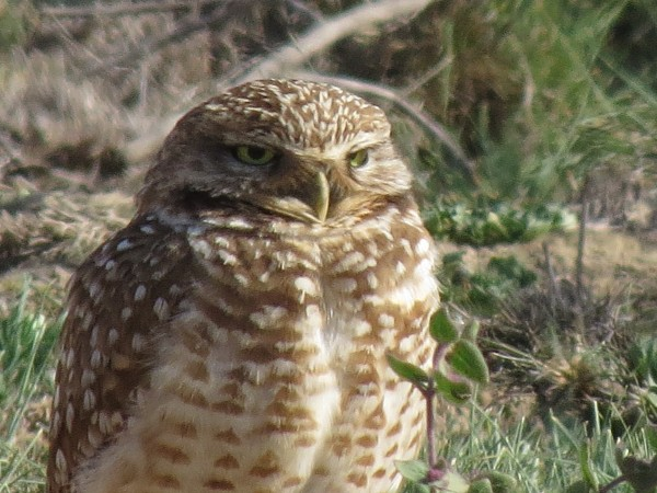 Burrowing Owl at Bolsa Chica