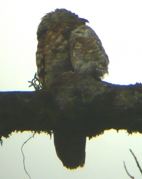 adult Great Potoo and little fuzz-ball nestling, adult is looking to t...