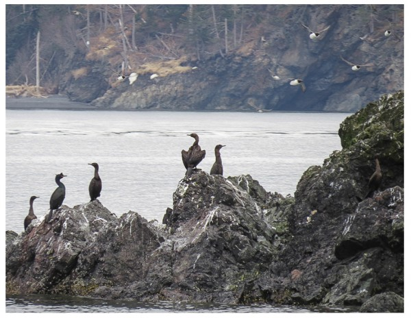 Red-faced and Pelagic Cormorants