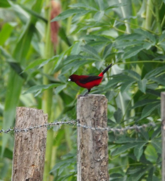 Crimson Backed Tanager.