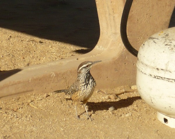 Cactus Wren comes into camp looking for handouts, Ryan campground, JT