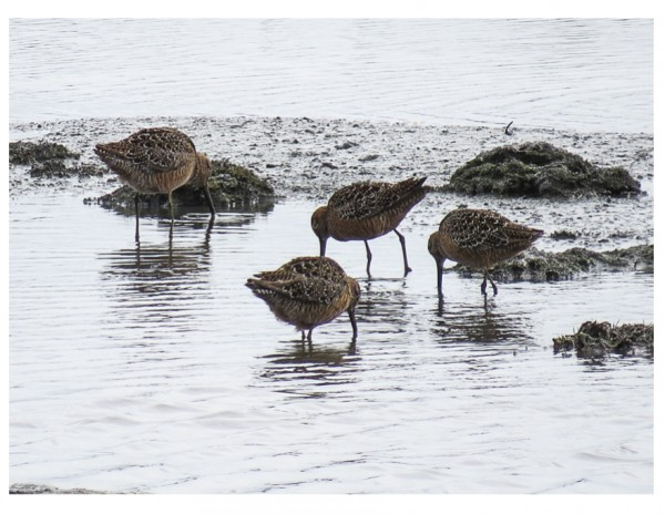 Dowitchers <br/>