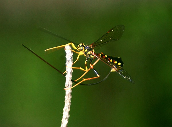 cleaning off its ovipositor