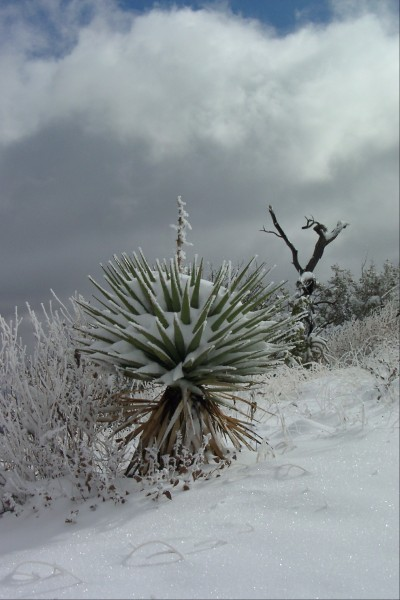 This is just an oddity I though worth posting - a snowy cactus in the ...