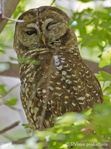 Spotted Owl, Sierra Vista AZ