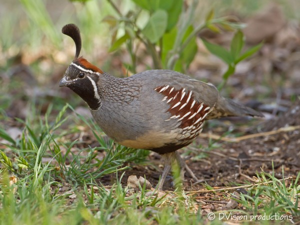 "Gambel's Quail.  A relative of the ""Mall Quail"" ;-)"