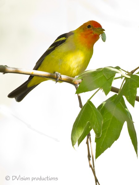 Western Tanager with tasty bug.  I don't usually like blown out backgr...