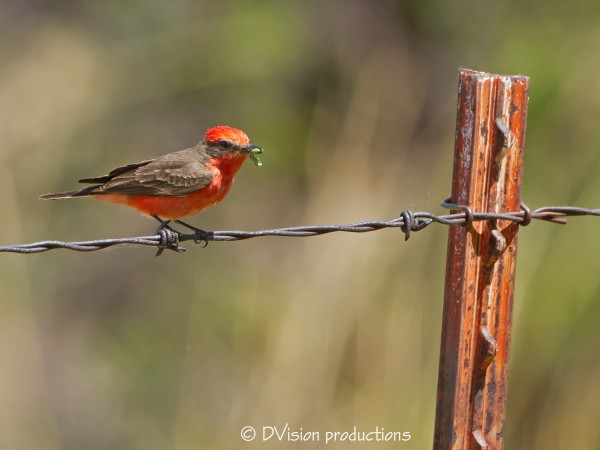 Vermillion Flycatcher with a nice green worm...