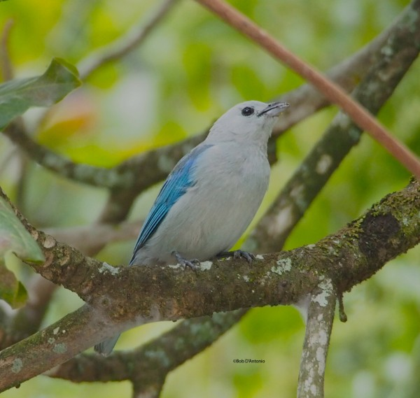 Blue & Grey Tanager