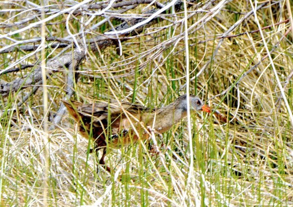 Got em!....A Virginia Rail scuttling back and forth between bushes wit...