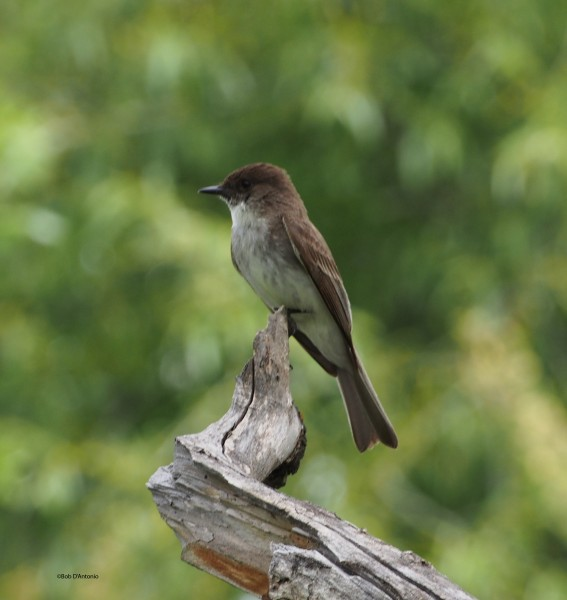 Eastern Phoebe hanging around Boulder Creek.