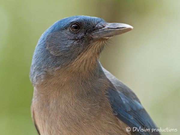 Mexican Jay portrait session