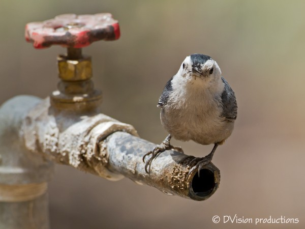 Nuthatch finds a water source