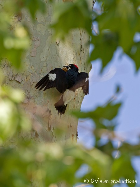Acorn Woodpecker lands at his hole
