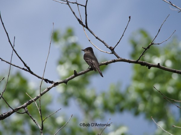 Western Wood-Pewee...I think?