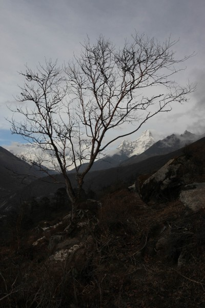 Tree, with Ama Dablam from Tengboche.