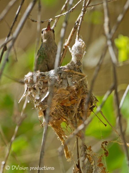 Another Hummer on a nest, with a bug, ready to feed the tiny babies in...