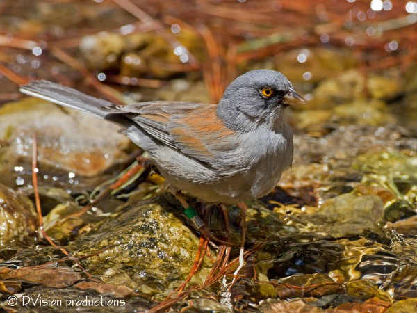 Yellow-eyed Junco near the summit of Mt. Lemmon.  Interesting that thi...
