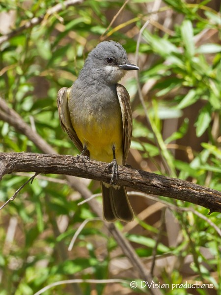 Cassin's Kingbird.  San Pedro riparian area