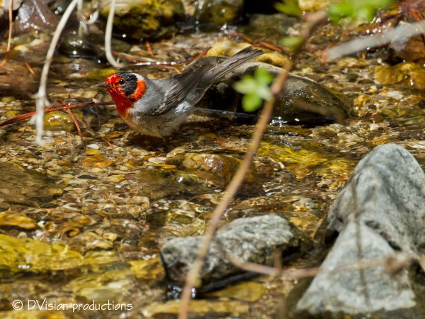 Red-Faced Warbler catches a bath.  Mt. Lemmon AZ