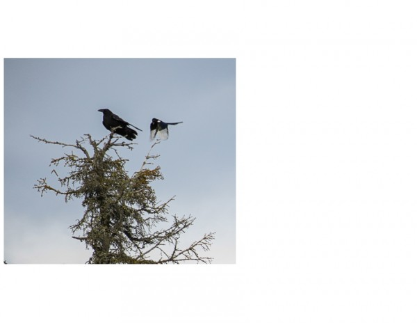 Raven and Magpie