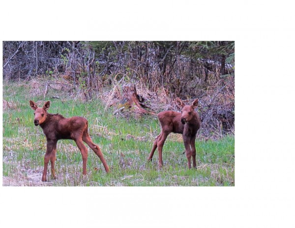 moose babies