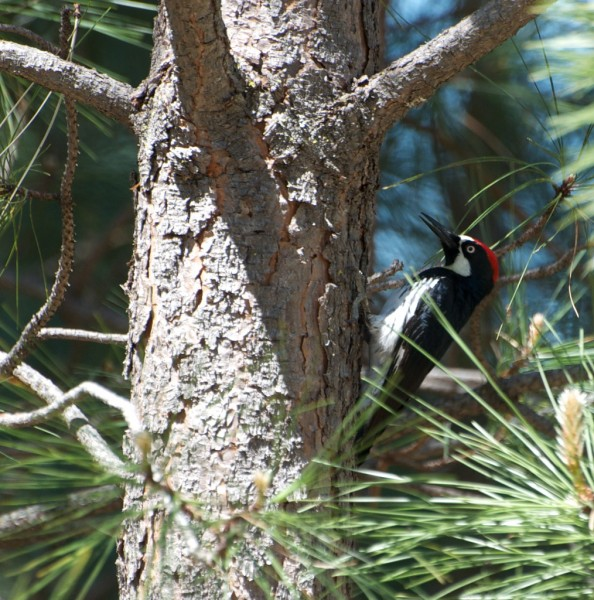 Acorn Woodpeckers are everywhere in Yosemite