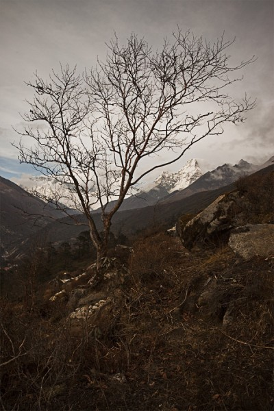 Tree and Ama Dablam from Tengboche