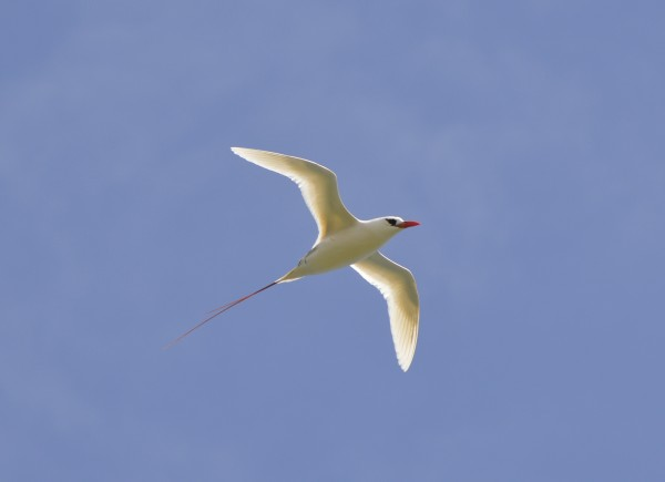 Red tailed tropicbird or koa'e