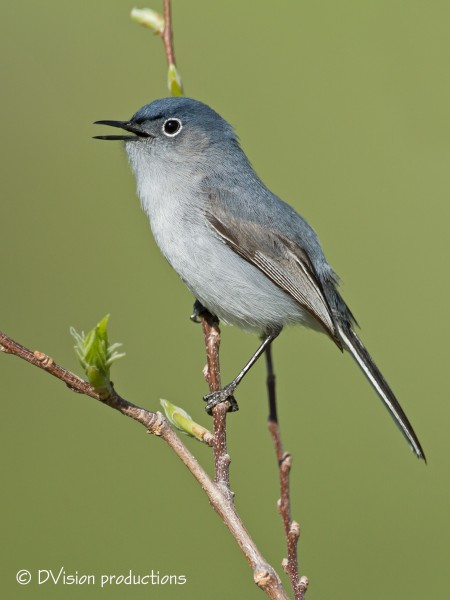 Blue-Grey Gnatcatcher doing the squeakin thing