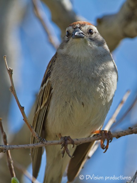 Chipping Sparrow - these guys have a nice little song and boy are they...