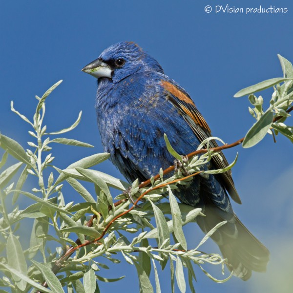 Blue Grosbeak - I've seen 2 pair of these guys in South Boulder in rec...