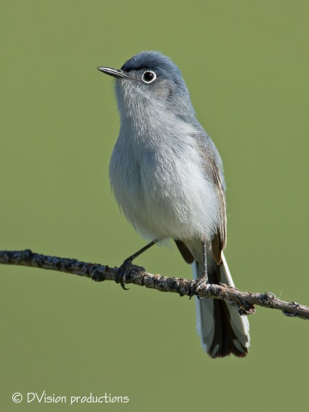 Blue-Grey Gnatcatcher takin a break from catching morning gnats