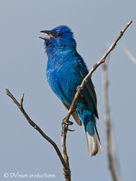 Indigo Bunting displaying his slightly curled feather tips while singi...