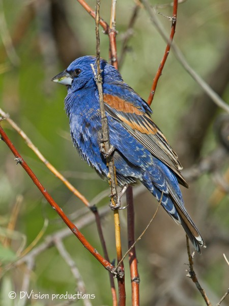 Another Blue Grosbeak shot - why not eh?