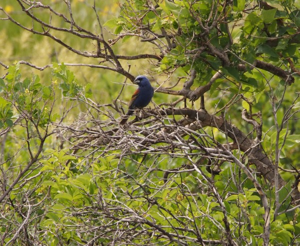 Blue Grosbeak...couldn't get very close to this guy.