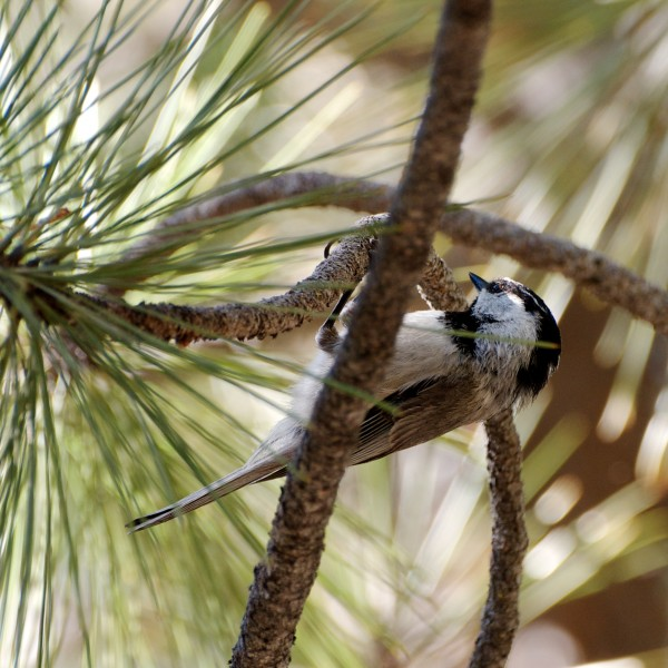 Mountain Chickadee Lover's Leap (click for larger)