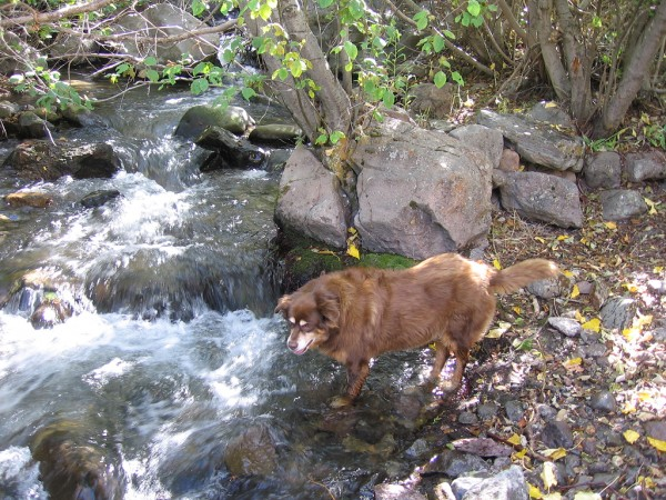 Brown Sugar; Rottie/Aussie Sheppard @ Hunter's Creek